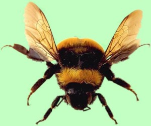 bumble-bee1