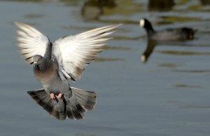 JR45709-pigeon-geronimo